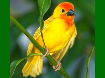 Beautiful-Yellow-Birds-13