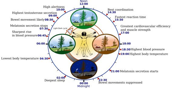 2000px-Biological_clock_human.svg