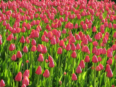 Pink_tulips_plants